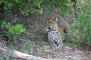 Leopard, Panthera pardus resting near Lebala Camp, Okavango