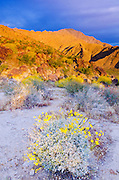 Morning light on Brittlebush under San Ysidro Mountain, Anza-Borrego Desert State Park, California USA
