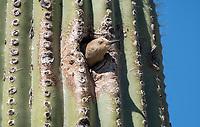 A female Gila Woodpecker, Melanerpes uropygialis, emerges from its nest in a Saguaro cactus, Carnegiea gigantea,, in the Arizona-Sonora Desert Museum, near Tucson, Arizona