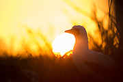 Nazca Booby i solnedgang, Genovesa Island, Galapagos   Nazcasule i solnedgang