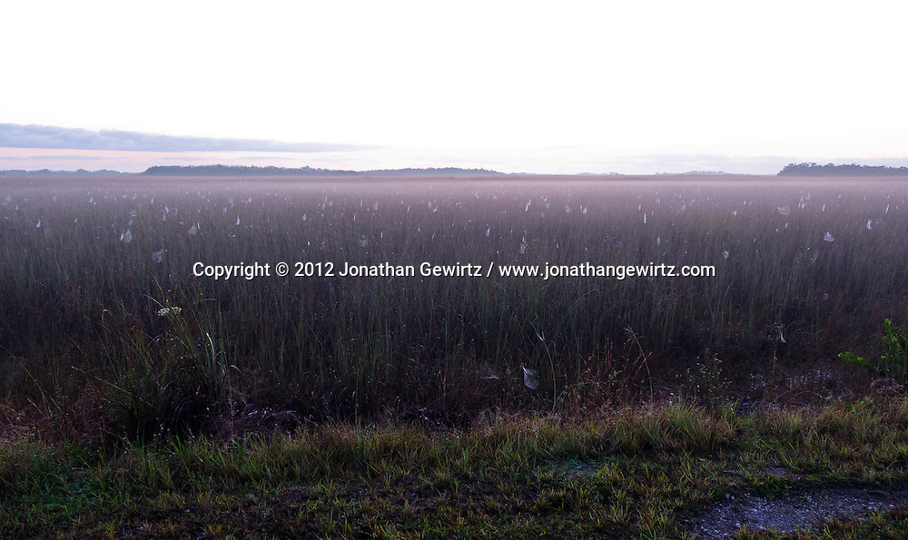 Fog lifts at dawn to reveal a seemingly endless field of dew-covered spider webs on the sawgrass prairie in the Shark Valley section of Everglades National Park, Florida. WATERMARKS WILL NOT APPEAR ON PRINTS OR LICENSED IMAGES.