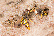 Solitary wasp with predated mining bee approaching nest burrow entrance on heathland. Surrey, UK.