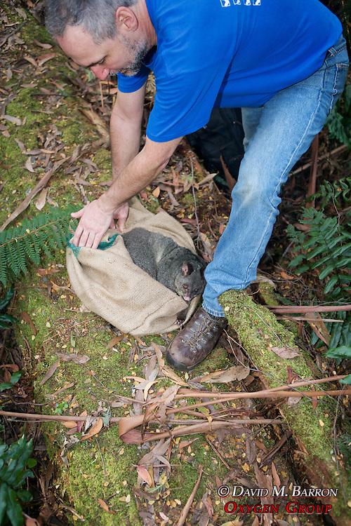 David Barron Releasing Mountain Brushtail Possum