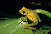 Spotted Treefrog (Hyla punctata) - Amazonia, Peru