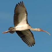White Ibis (Eudocimus albus) Immature in flight. Southwest Florida.