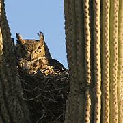 Great Horned Owl (Bubo virginianus) nesting in a Saguaro cactus in Sedona, Arizona.