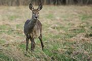 Roe deer (Capreolus capreolus) in meadow in early spring, Kurzeme, Latvia Ⓒ Davis Ulands | davisulands.com