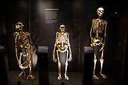 Human evolution exhibit at the Natural History Museum in London, England, United Kingdom. The museum exhibits a vast range of specimens from various segments of natural history. The museum is home to life and earth science specimens comprising some 80 million items within five main collections: botany, entomology, mineralogy, paleontology and zoology. The museum is a centre of research specialising in taxonomy, identification and conservation.