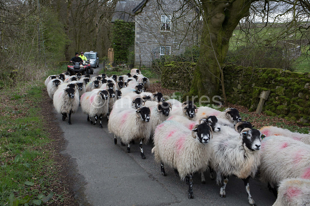 Followed by shepherds on quadbikes, a flock of sheep make their way along a country lane, on 13th April 2017, in Horton in Ribblesdale, Yorkshire, England.