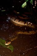 Anaconda having swallowed a peccary