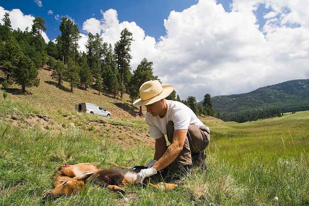 Scott Gilmore, a college biology intern at the Valles Caldera National Preserve, New Mexico, takes tissue samples from an elk (a fawn) likely killed by coyote.