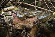 Common Anaconda (Eunectes murinus)<br /> Tiputini River, Yasuni National Park, Amazon Rainforest<br /> ECUADOR. South America<br /> HABITAT & RANGE: Forests east of the Andes in Colombia, Venezuela, the Guianas, Ecuador, Peru, Bolivia, Brazil and on the island of Trinidad.