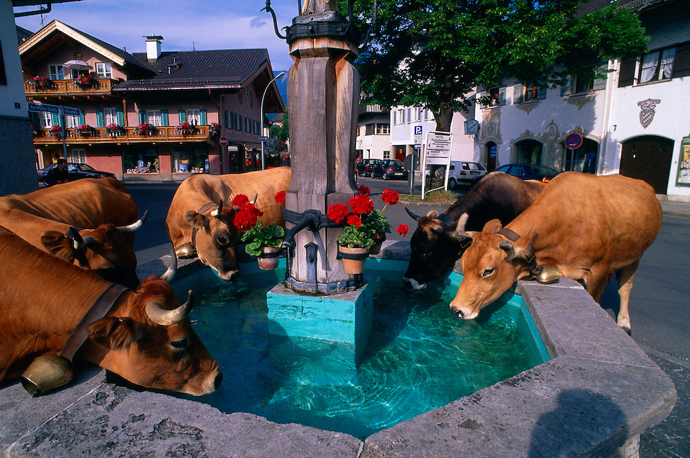 Cows drinking from a fountain, Garmisch-Partenkirchen, Bavaria, Germany