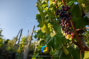 Grapes photographed along the Cinque Terre trail in Italy.