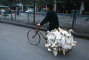 Ducks driven to market by bicycle in Beijing, China.