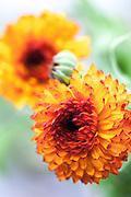 Calendula officinalis 'Neon' - pot marigold