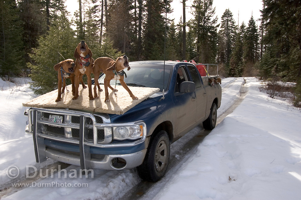 Red bone hound dogs, owned by Ted Craddock, pick up the scent of a cougar while riding on a special platform. The platform is designed to give the dogs first whiff of animals that have crossed the road. Part of a cougar survey for The Oregon Division of Fish and Wildlife in Wallowa County. Wenaha Study Area