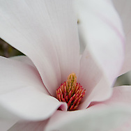 Technically magnolias and not tulips at all, they're still gorgeous blooms.