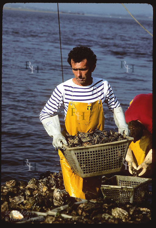 Bernard Audic stacks crate of Japanese oysters aboard dredge boat in Gulf of Morbihan. France