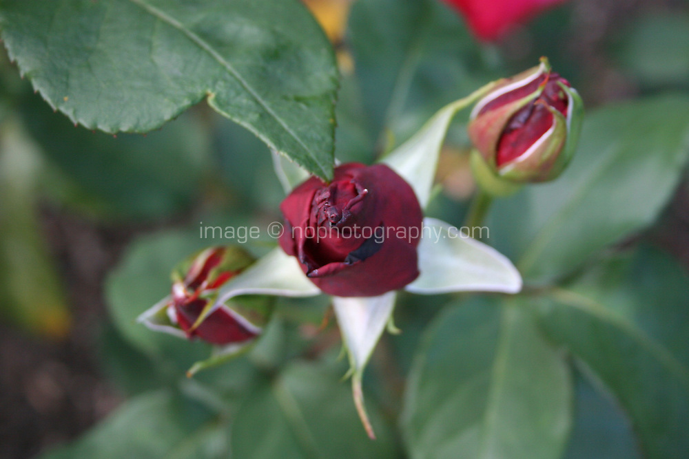 Red rose buds growing in a garden
