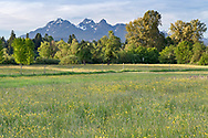 Wildflowers including Buttercups and a few Lupines, add colour to a field at Derby Reach Regional Park with the Golden Ears (Mount Blanshard) in the background.  Photographed from the Muench Bar area of Derby Reach in Langley, British Columbia, Canada.