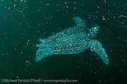 A female Leatherback Sea Turtle, Dermochelys coriacea, swims offshore Grand Riviere, Trinidad, prior to nesting.