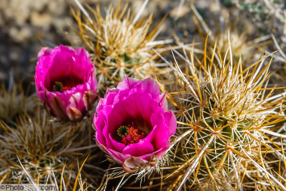 Engelmann's Hedgehog Cactus (Echinocereus engelmannii) with bright magenta flowers. We hiked the Palm Canyon Trail to Indian Potrero Trail to Stone Pools, and looped back via Victor Trail, in the Indian Canyons, Palm Springs, California, USA. The beautiful Palm Canyon Trail takes you through the world's largest California Fan Palm oasis. The Indian Canyons are the ancestral home of the Agua Caliente Band of Cahuilla Indians.