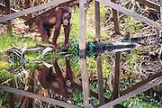 A reflection of an orangutan (Pongo pymaeus) beneath a dock on the Sekonyer river, Tanjung Puting National Park, Central Kalimantan, Borneo, Indonesia