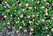 BEARBERRY Arctostaphylos uva-ursi (Ericaceae) Prostrate<br /> Low-growing, mat-forming and evergreen undershrub. Found on dry moorland and mountain slopes. FLOWERS are 5-6mm long, urn-shaped and pink; borne on short stalks and in clusters (May-Aug). FRUITS are shiny, bright red berries, 7-9mm across. LEAVES are oval, untoothed and leathery; they are dark green and shiny above but paler below. STATUS-Locally common in Scotland but rare elsewhere within its range.