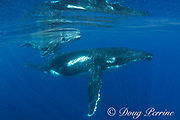humpback whale mother and calf, Megaptera novaeangliae, Vava'u, Kingdom of Tonga, South Pacific; calf has a cluster of commensal remoras underneath its belly
