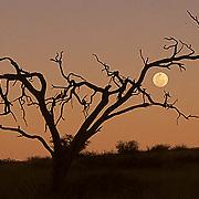 Kalahari Gemsbok National Park, full moon rises above kalahari Desert. Dusk. Africa.