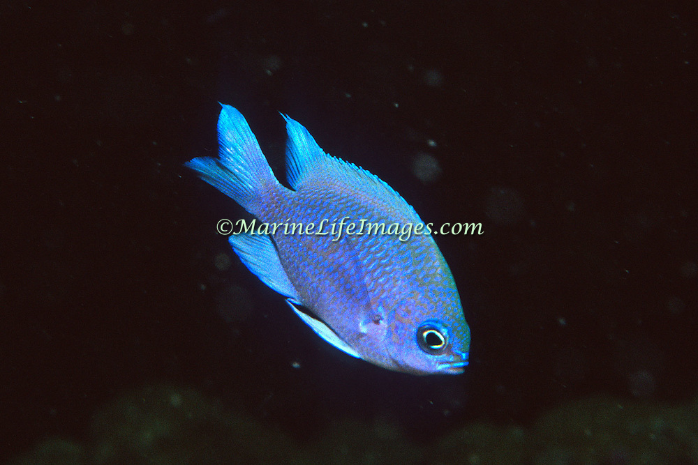 Purple Reeffish inhabit deep reefs in Tropical West Atlantic; picture taken Palm Beach, FL.