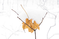 https://Duncan.co/maple-leaf-under-snow-on-a-twig