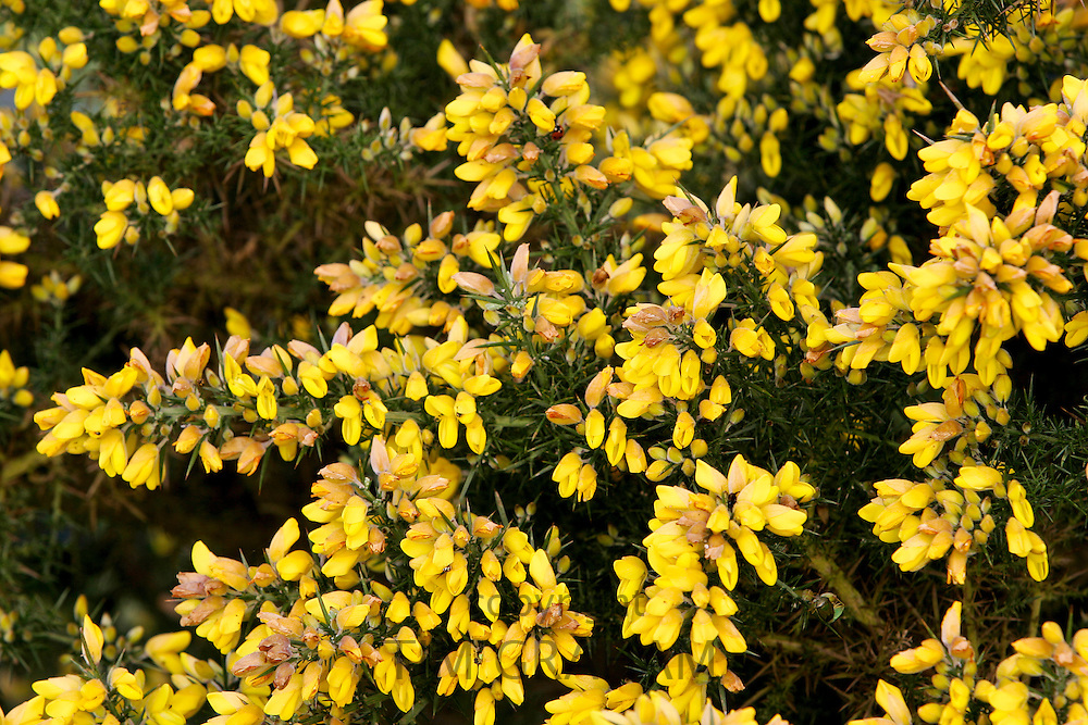 Gorse growing, England