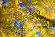 Fall aspen abstract along Bishop Creek, Inyo National Forest, Sierra Nevada Mountains, California