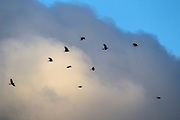 Ten American crows (Corvus brachyrhynchos) fly past storm clouds on their way to their roost in Bothell, Washington. As many as 15,000 crows use the roost each night during the winter months.