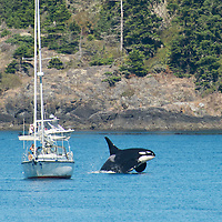 Onyx, a large male killer whale (Orcinas orca) breaches near a boat off San Juan Island, Washington, USA. This was a super pod consisting of approximately 60 animals, made up by the J and K pod orcas swimming near each other. Resident orcas feed exclusively on salmon, and follow the fish stocks from place to place. September 10, 2013. Photo © William Drumm.