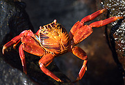 Sally Lightfoot Crabs (Grapsus grapsus) on wave washed rocks. Puerto Baquerizo Moreno, San Cristobal, Galapagos, Ecuador