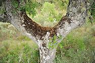 Dehesa forests with Pyrenean oak (Quercus pyrenaica)  and  French lavender (Lavandula stoechas) in Campanarios de Azába nature reserve, Salamanca Region, Castilla y León, Spain