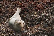 Harbor Seal, Phoca vitulina