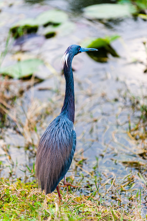 US, Florida, Everglades, Shark Valley. Tricolored Heron.