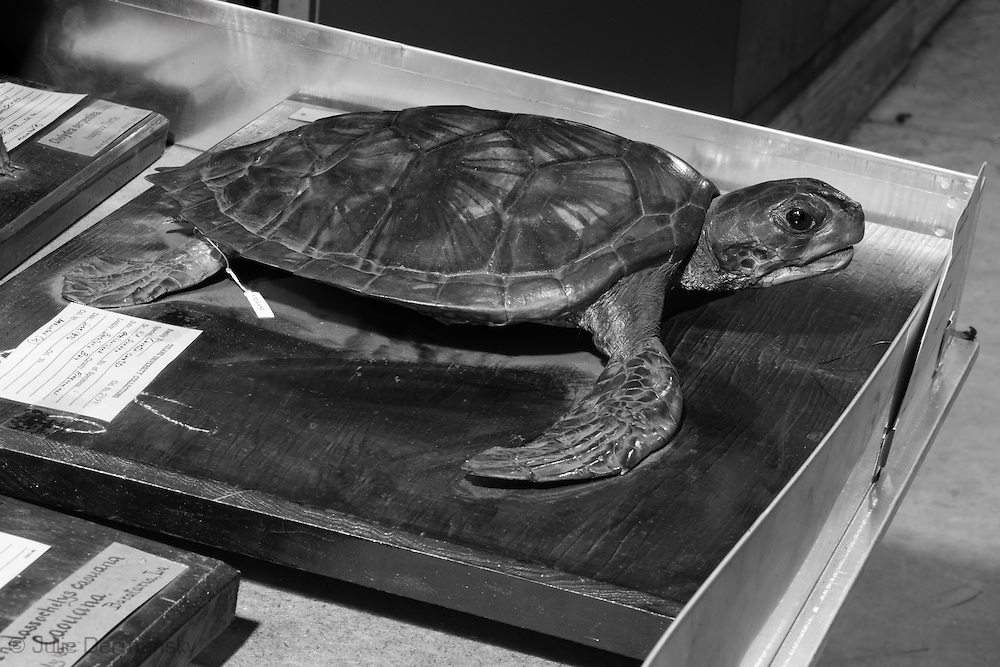 Sea turtle at the Tulane Natural History Museum.