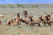 Photo series of cow elk fighting