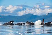 humpback whales, Megaptera novaeangliae, bubble net feeding on herring, with sea gulls trying to snatch fish, Kupreanof Island, Frederick Sound, Inside Passage, southeastern Alaska, USA