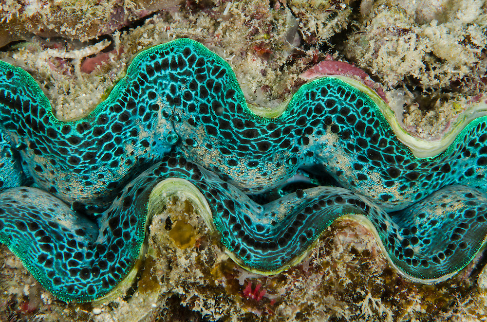 Giant Clam Mantle detail (Tridacna sp.)<br /> Cenderawasih Bay<br /> West Papua<br /> Indonesia