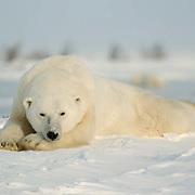 Polar Bear (Ursus maritimus) At Cape Churchill, Manitoba, Canada. Winter.