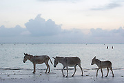 At dawn each day this family of donkeys comes down from the shelter to walk along the beach at Matemwe on 12th December 2008 in Zanzibar, Tanzania. Zanzibar is a small island just off the coast of the Tanzanian mainland in the Indian Ocean. In part due to its name, Zanzibar is a travel destination of mystical reputation, known for its incredible sealife on its many reefs, the powder white coral sand beaches and the traditional cultivation of spices.