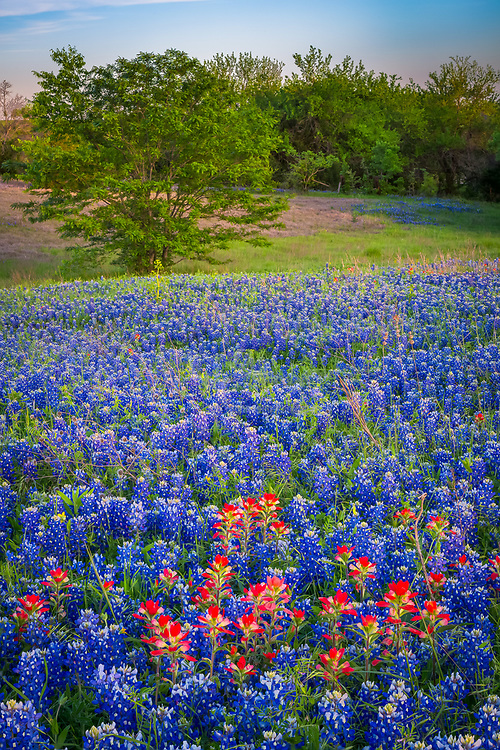 Texas paintbrush and bluebonnets in Ennis, Texas. Lupinus texensis, Texas bluebonnet, is a species of lupine endemic to Texas.