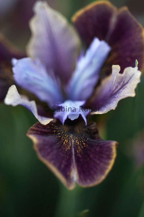Iris sibirica 'Black Joker'