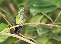 Male green-crowned brilliant hummingbird, Heliodoxa jacula, perched on a branch at San Jorge Eco-Lodge, Milpe, Ecuador